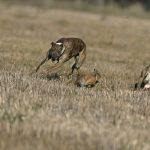 Poaching / Hare Coursing